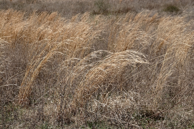 Illinois Prairie Grass, from which the Murphy Family made their livelihood (Robert Lawton)